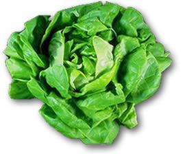 lechuga lettuce